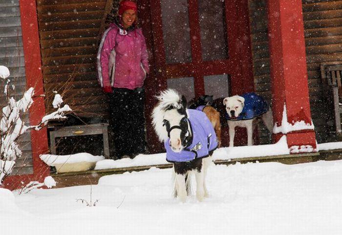 Самая маленькая мини-лошадь в мире (25 фото)