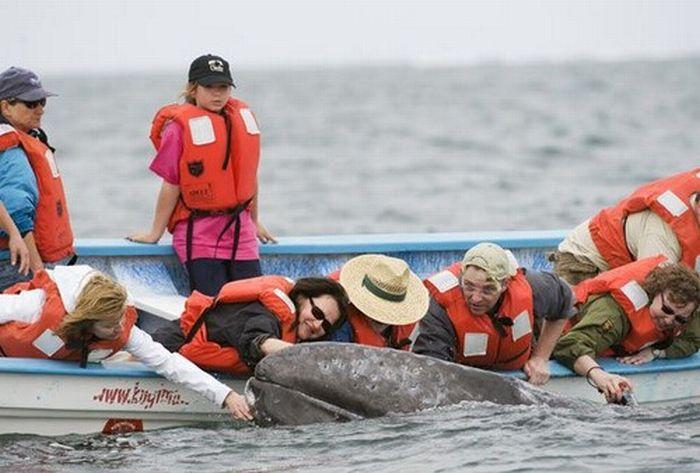 Самые дружелюбные киты в мире (14 фото)