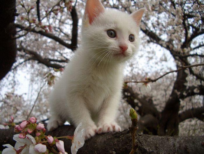 Коты на цветущих вишнях (20 фото)