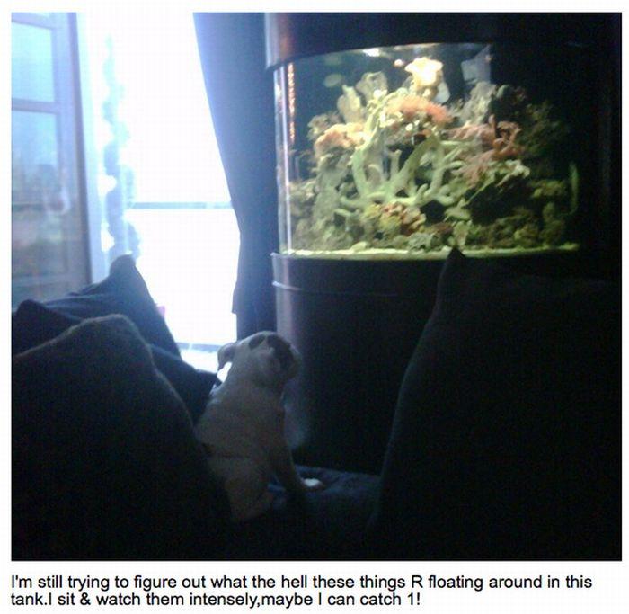 Английский бульдог знаменитости Коко (25 фото)