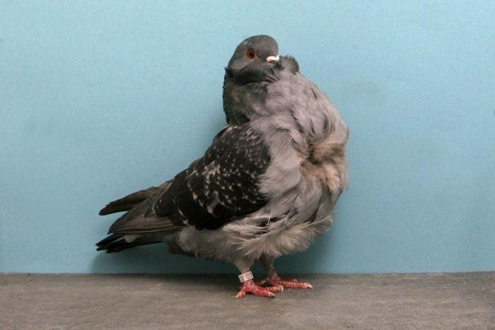 Красивые голуби (18 фото)