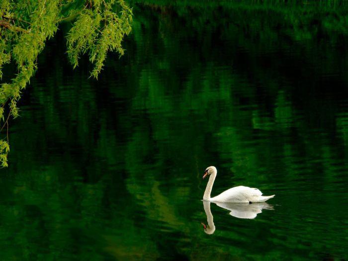 Красивые фотографии лебедей 25 фото
