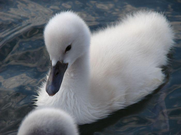 Красивые фотографии лебедей (25 Фото)
