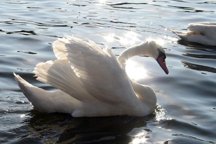Картина: Царевна-Лебедь