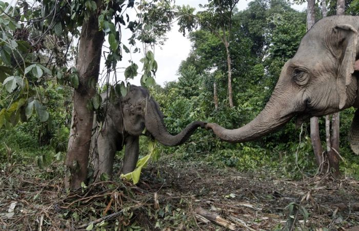 Малазийские обученные слоны (6 фото)