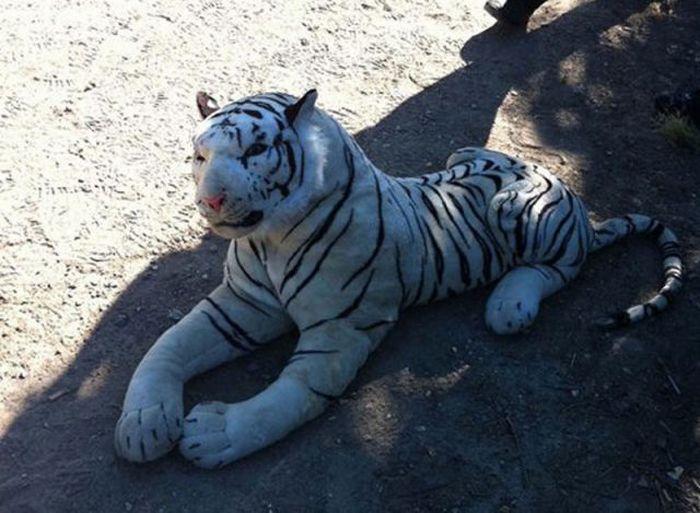 Белый тигр на поле для игры в крикет (2 фото)