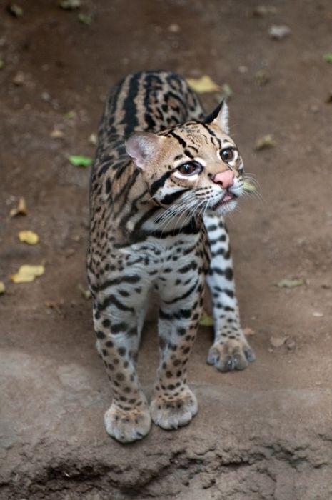 Кот оцелот (22 фото)