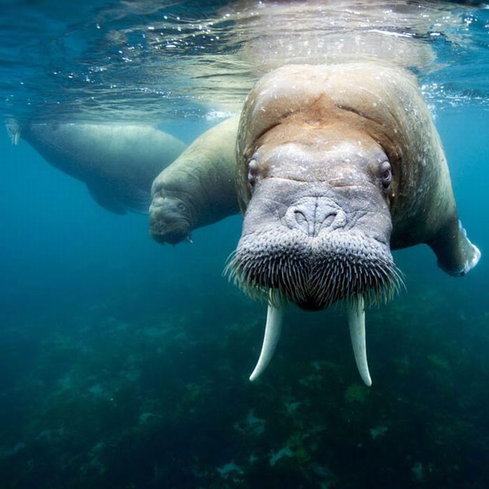 Лицом к лицу с моржом (15 фото)