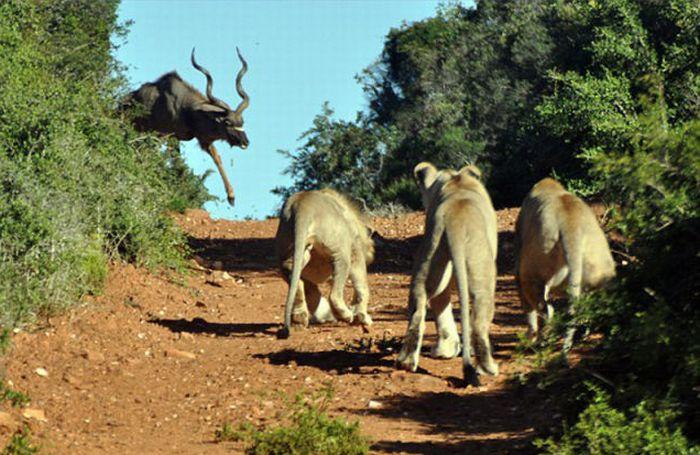 Антилопа против голодных львов (5 фото)
