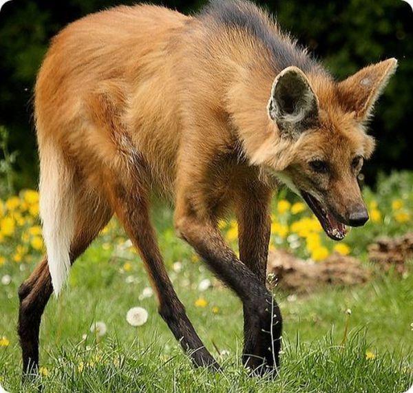 Бразильский волк (7 фото)