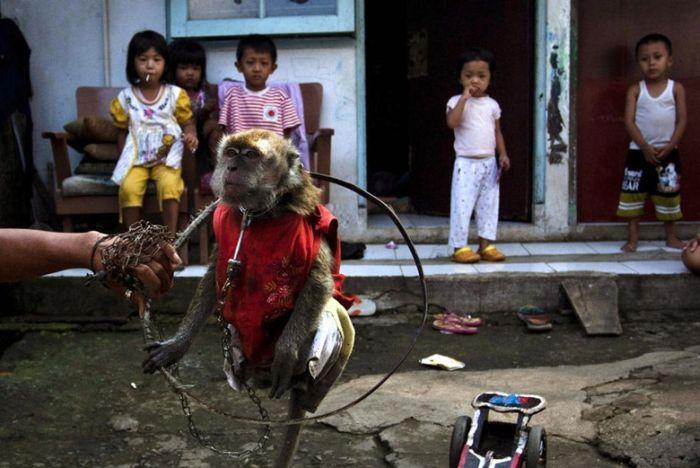 Уличные обезьянки Индонезии (16 фото)