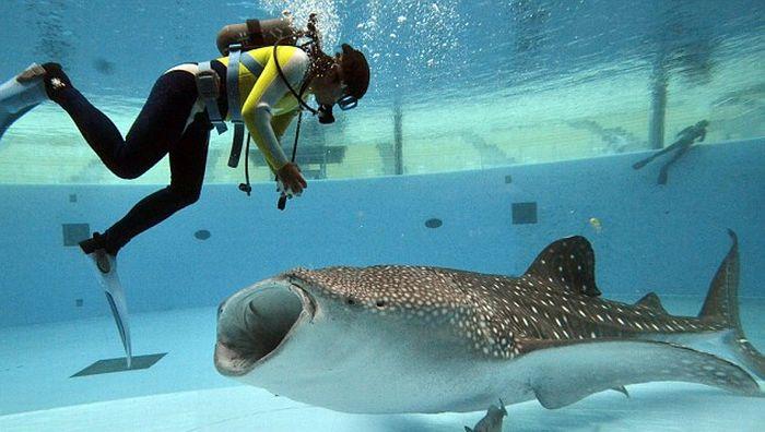 Прикольные картинки.  Кормление китовой акулы (4 фото)