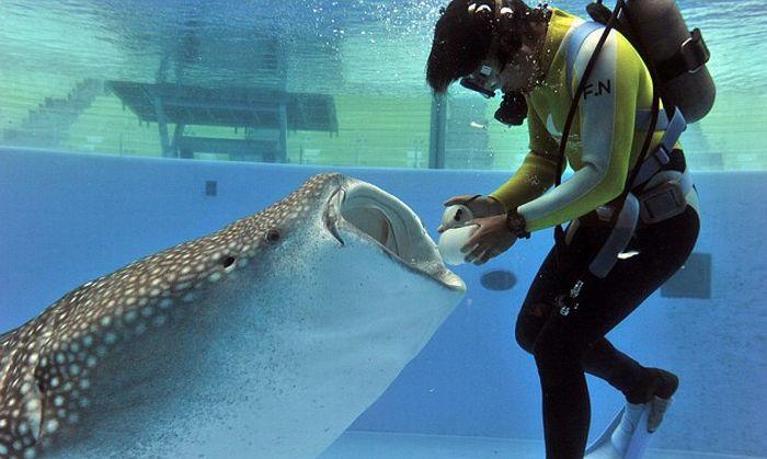 Кормление китовой акулы (4 фото)