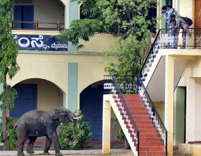 Обезумевшие слоны в Индии (6 фото + видео)