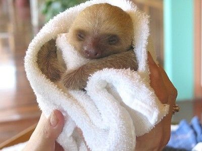 Позитивные маленькие ленивцы (10 Фото)