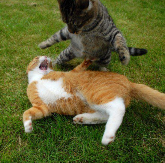 Жесткая битва двух котов (27 Фото)