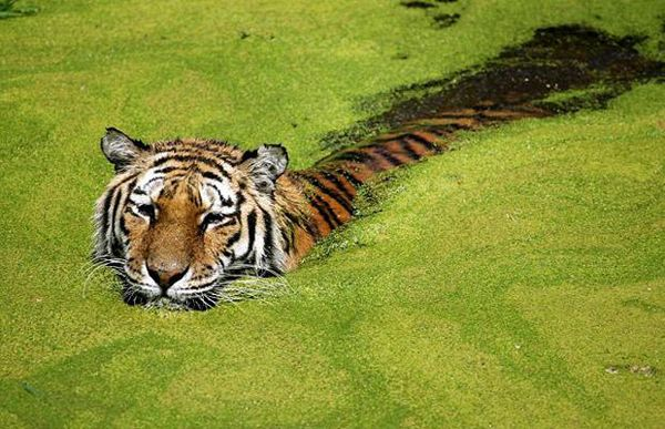 Тигры спасаются от летней жары (20 Фото)