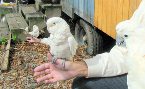 Птицы с человеческими руками (72 фото)
