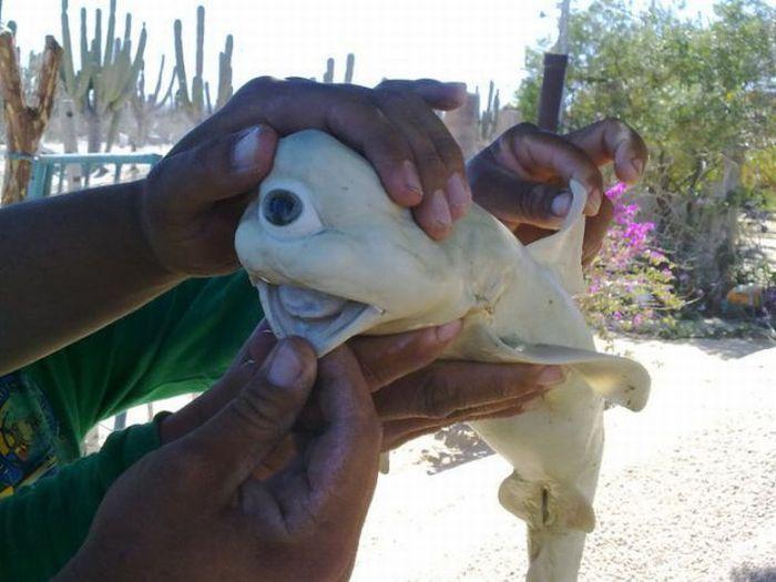 Акула-циклоп (2 фото)