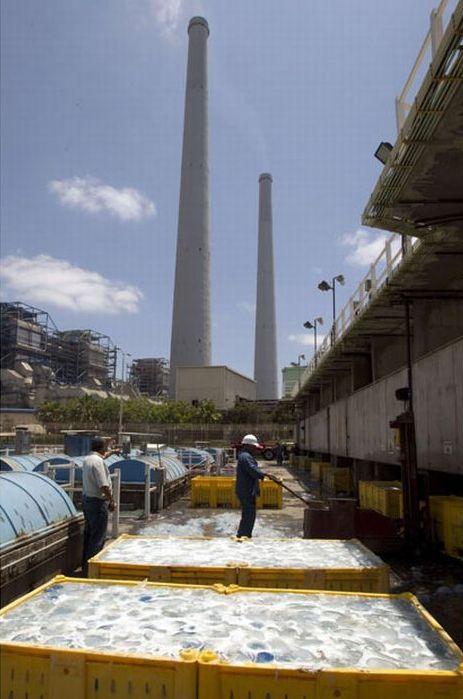 Медузы забили водоснабжение электростанции (12 фото)