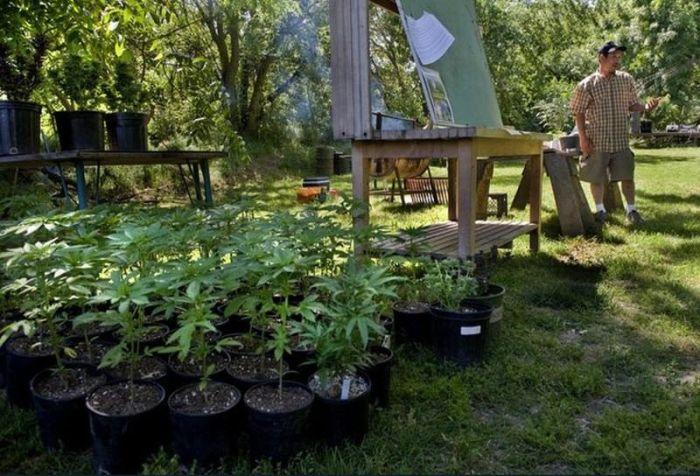 Введение в марихуановодство (15 фото)