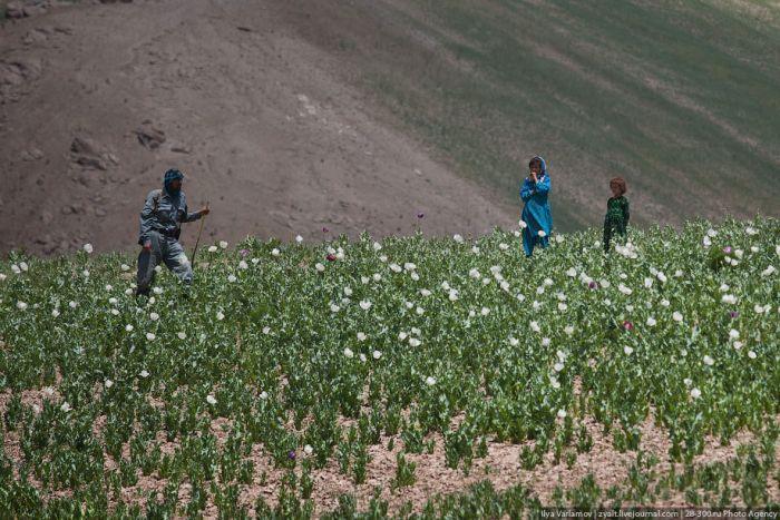 Уничтожение маковых полей в Афганистане (45 фото)