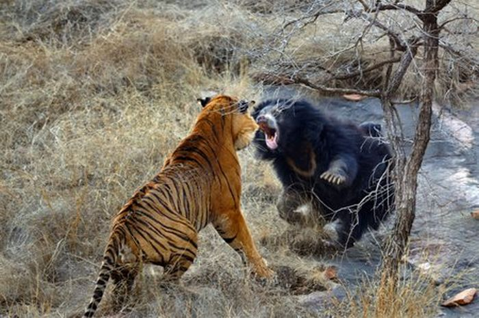 Медведица против тигра (12 фото)