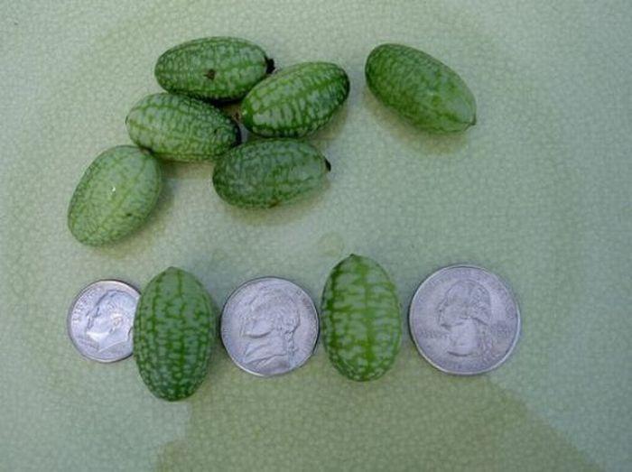 Самый маленький арбуз (6 фото)