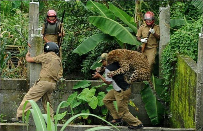 Взбесившийся леопард (7 фото)