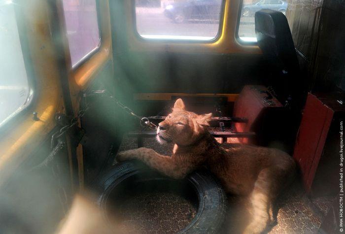 Прикованная львица (2 фото)