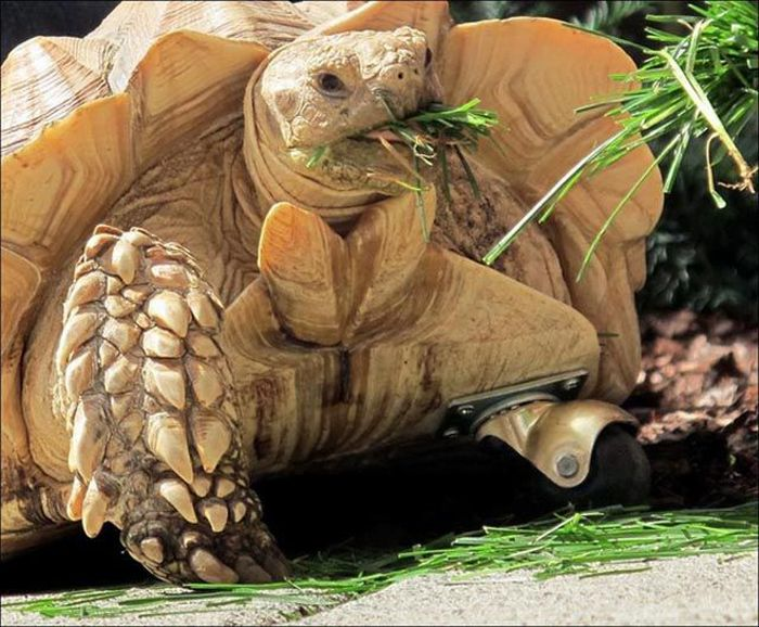 Протез для черепахи (5 фото + видео)