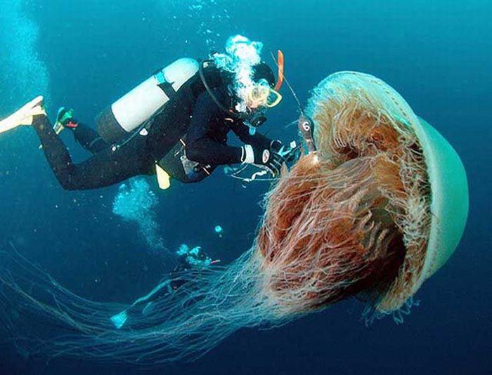 Огромная медуза (13 фото)