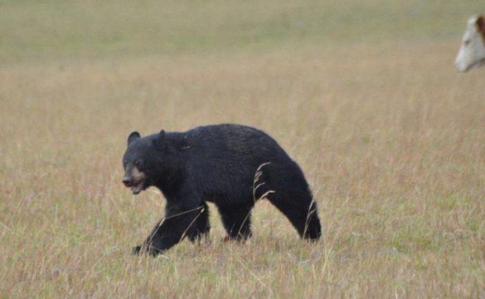 Медведь против коровы (8 фото)