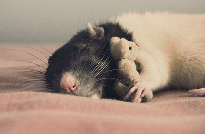 Славные крысы (32 фото)