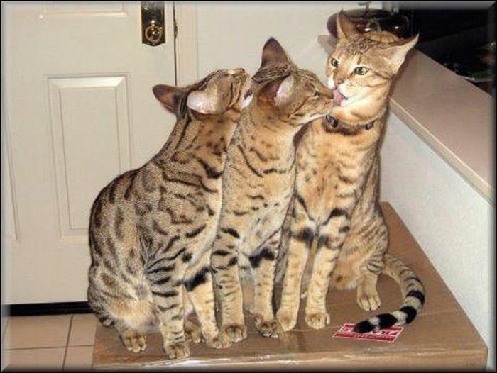 Большая кошка саванна 11 фото