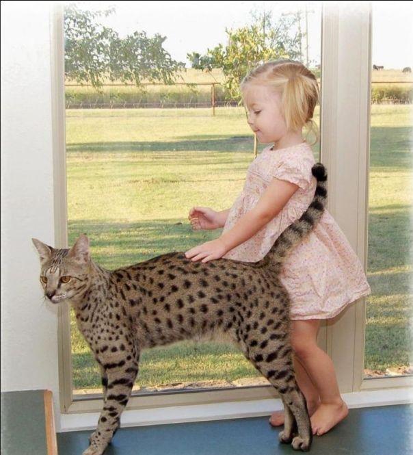 Большая кошка-саванна (11 фото)