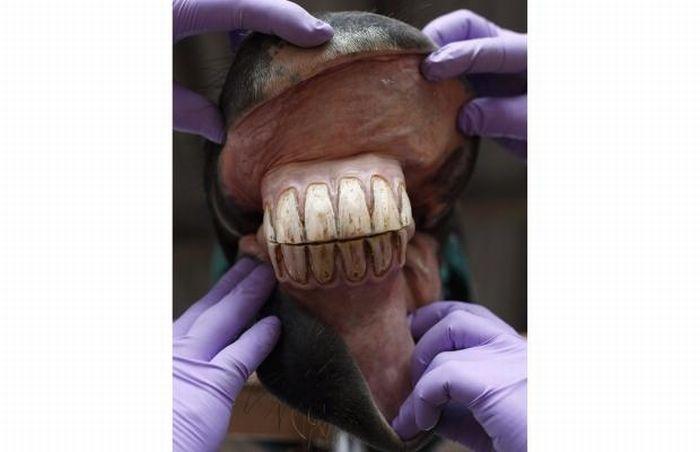 Лошадиный стоматолог (11 фото)