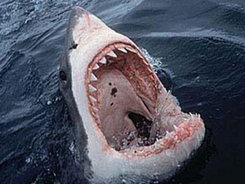 Жесть! Акула-людоед в Приморье (фото)