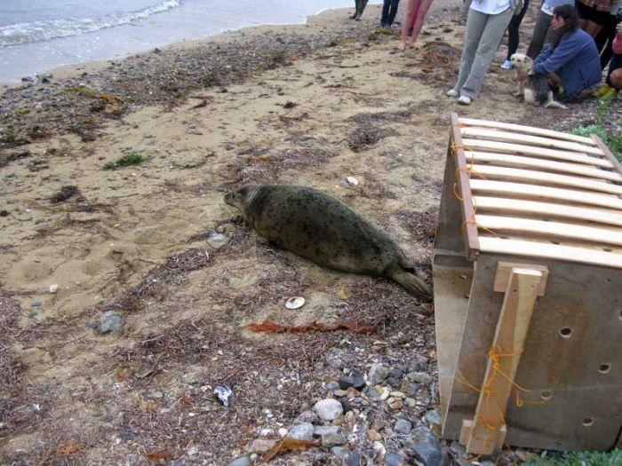Спасение тюленя (21 фото)