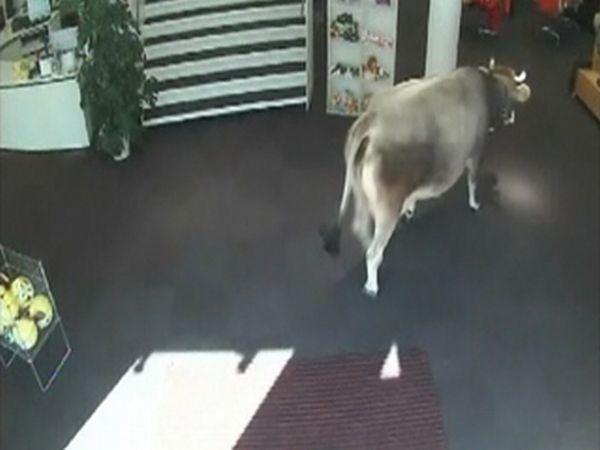 Корова зашла за покупками (5 фото)