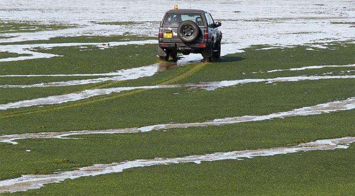 Токсичные водоросли на пляже во Франции (8 фото)