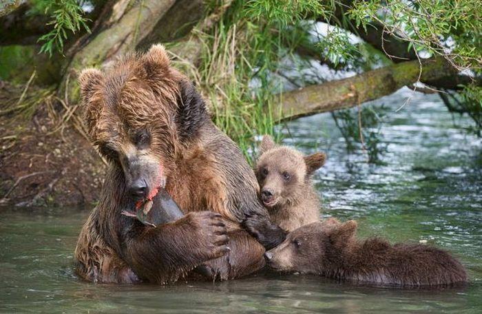 Бурые медведи (29 фото)