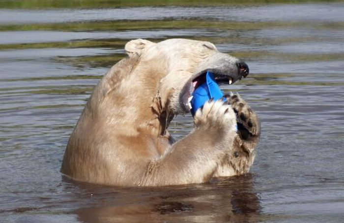 Медведь развлекается (10 фото)
