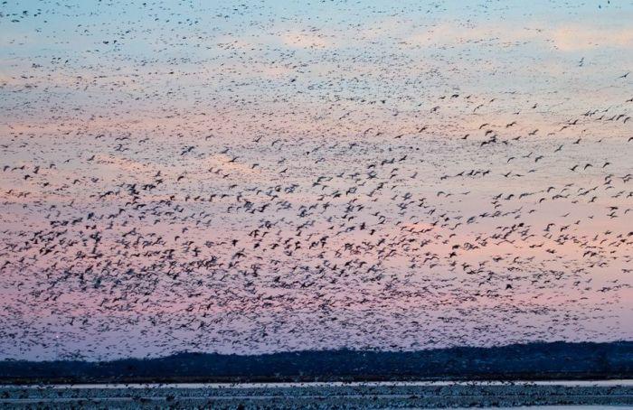 Миллион диких гусей (21 фото)