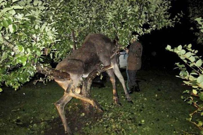 Опьяневший лось на яблоне (8 фото)