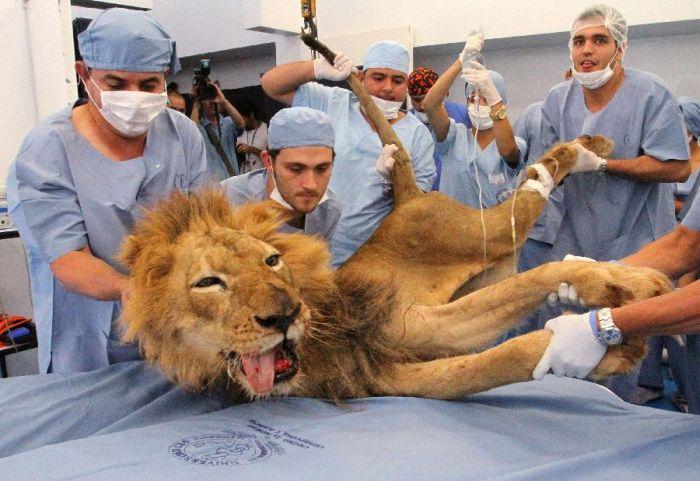 Стоматолог для хищника (14 фото)