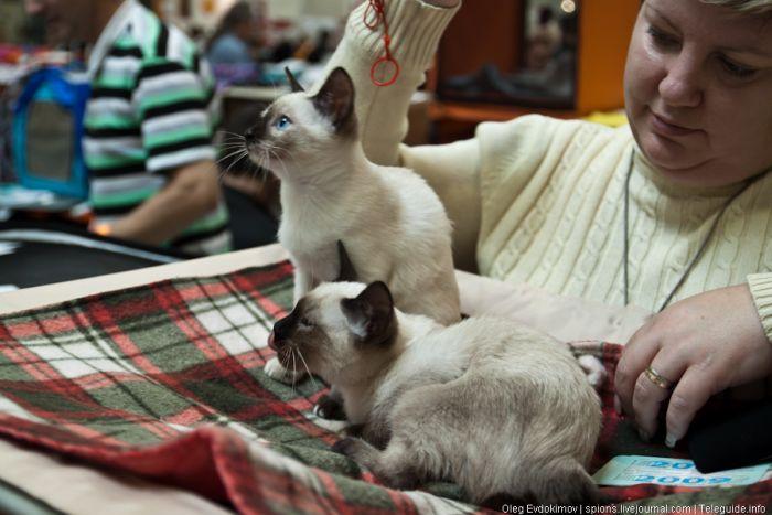 """Выставка кошек """"Экспокот 2011"""" (81 фото)"""