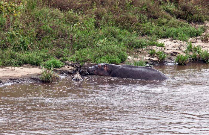 Бегемот спас антилопу (17 фото)