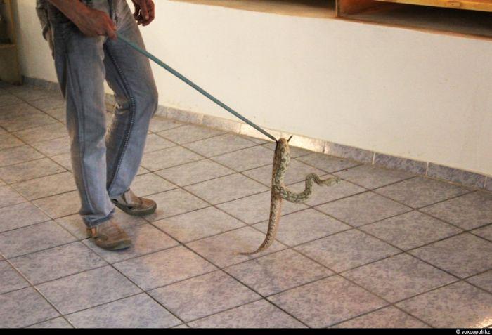 Опасная профессия - змеелов (33 фото)