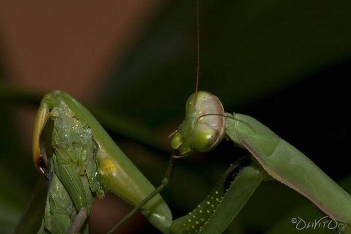 Самка богомола после спаривания (10 фото)